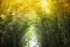 Morning sunlight to the bamboo arch. Sunlight is passing through bamboo leaves and bamboo branches in the morning Royalty Free Stock Image