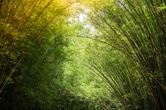 Morning sunlight to the bamboo arch. Sunlight is passing through bamboo leaves and bamboo branches in the morning Stock Image