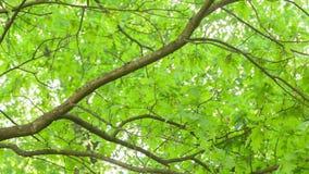 Sunlight peaks through oak leaves pan Stock Photo