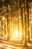 Sunlight penetrates through the trunks of trees Royalty Free Stock Photos