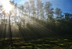 Sunlight Piercing Through Green Tall Trees during Daytime Royalty Free Stock Photography