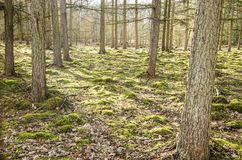 Sunlight in a pine forest. Sunrays shining through the pine trees in a forest with mossy ground cover near Valkenswaard, The Netherlands royalty free stock photo