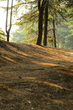 Sunlight into Pine Forests Stock Image