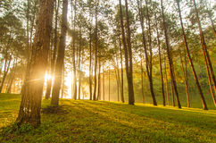 Sunlight in pine tree Stock Photo