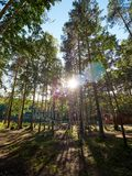 Sunlight through pines in the autumn forest royalty free stock images
