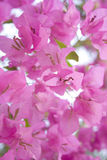 Sunlight pink bougainvillea royalty free stock image