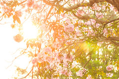 Sunlight through pink trumpet flower Royalty Free Stock Photos