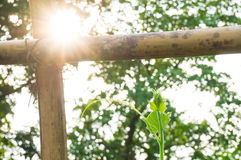 Sunlight through a plant. With bamboo fences, soft focus Royalty Free Stock Photography