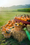 Sunlight on the Pumpkins Royalty Free Stock Photo