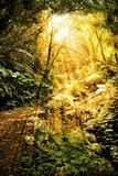 Sunlight in rain forest. Golden sunlight shining through an opening in a dense rain forest in Taiwan and a single person is walking up some old stone stairs Stock Images