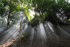 Sunlight rays. Through the trees in the misty forest Royalty Free Stock Photo