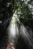 Sunlight rays. Through the trees in the misty forest royalty free stock image