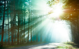 Sunlight rays. Magical forest in the morning sunlight rays. Bright rays of sunlight on the forest road. Slanting solar light through trees in the wood. Morning Stock Photo