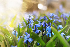 Sunlight and rays on blue first flower in spring Royalty Free Stock Photography
