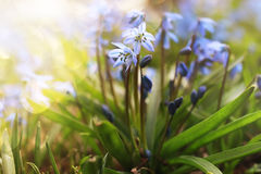 Sunlight and rays on blue first flower in spring Stock Photo