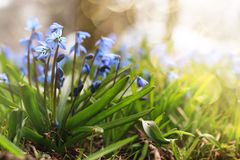 Sunlight and rays on blue first flower in spring Stock Photos