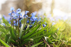 Sunlight and rays on blue first flower in spring Royalty Free Stock Image