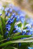 Sunlight and rays on blue first flower in spring Stock Photography