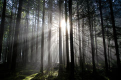 Sunlight rays through the forest. Rays of sunshine shining through the trees in the forest Royalty Free Stock Image