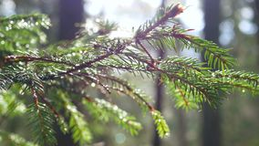 Rays sunlight forest branch. Sunlight rays in the forest wood spring stock footage