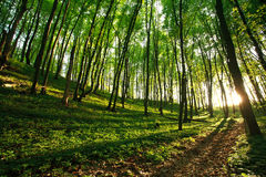 Sunlight rays in green forest Royalty Free Stock Photos