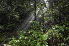 Sunlight rays pour through leaves in a rainforest at Sinharaja F Stock Image