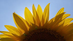 Sunlight Rays Shining Through Sunflower Petals Agricultural Field stock footage