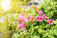 Sunlight, Red Bougainvillea& x27;s flowers and green leaves Royalty Free Stock Photo