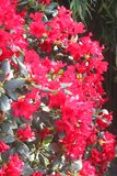 Sunbeams at red flowers of Rhododendron, Netherlands  Royalty Free Stock Image