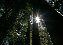 Sunlight Through Redwoods. Sunlight streaming through redwood trees Stock Photos