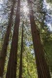 Sunlight Through Redwoods. Stock Photography