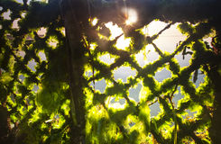 Sunlight through the seaweed's farming net in Bali, Indonesia. Local people use the fishing net to build bed for the seaweeds to grow. the sunrise's Sun light Royalty Free Stock Photo