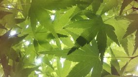 Sunlight Seen through Leaves of Acer Palmatum, Japanese Maple Tree at Branch Brook Park in Jersey City, NJ. Stock Image