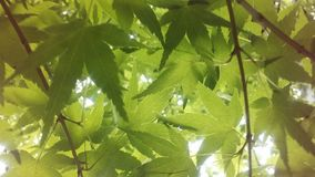 Sunlight Seen through Leaves of Acer Palmatum, Japanese Maple Tree at Branch Brook Park in Jersey City, NJ. Stock Photo