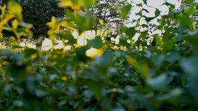Sunlight seep through leaves and fuzz fly around at summer evening during sunset. Sun shines through foliage of bush and fluff particles fly around stock footage