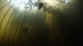 Sunlight, Shadows and Lily Pads Underwater in Pond. Sunlight filters through a canopy of lily pads in a freshwater pond on Cape Cod, Massachusetts. Aquatic stock video footage