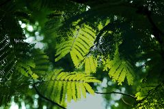 Sunlight shines through green leaves in nature. Sunlight shines through some green leaves that are naturally high royalty free stock photo