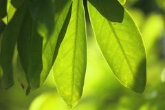 Sunlight shines through green leaves in nature. Sunlight shines through some of the green leaves in nature Royalty Free Stock Photos