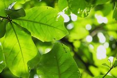Sunlight shines through green leaves in nature. Sunlight shines through some of the green leaves in nature Stock Image