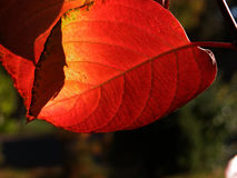 Sunlight Shines through a Red Autumn Leaf Stock Photos
