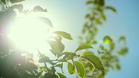Sunlight shines through treetop branches. In organic orchard, handheld camera with subtle movement, lens flare, full HD footage, 1920x1080, 1080p stock footage
