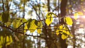 Sunlight shines through the young leafs stock footage