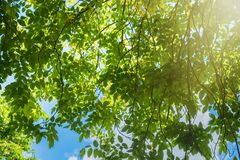 Sunlight shining through fresh green leaf in the morning at the Royalty Free Stock Photos