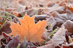 Sunlight shining through glowing frost covered maple leaf stock image