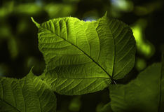 Sunlight shining through leaf in woods royalty free stock photography