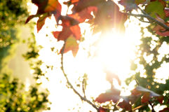 Sunlight shining through the leaves Royalty Free Stock Image