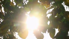 Sunlight shining through the leaves stock video