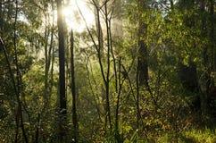 Sunlight shining through a misty forest Stock Photos