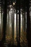 sunlight shining in the misty pine forest Royalty Free Stock Image