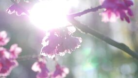 Sunlight shining through sakura tree at park in spring.  stock video